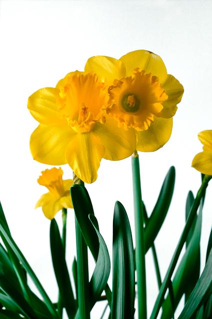 Daffodil, February 7, 2004
