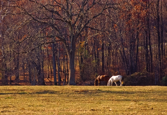 Grazing, Bascule Farm, Poolesville, Maryland, Autumn, 2001