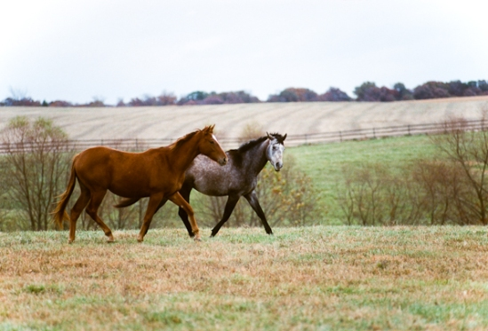 Equine Friends Out for A Walk, Bascule Farm, Poolesville, Maryla