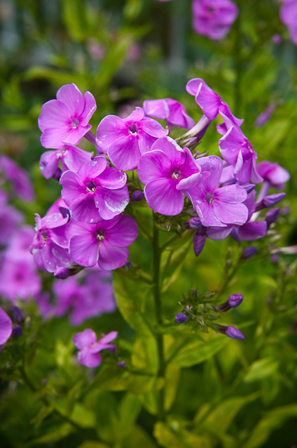 Upright Phlox, Private Garden, Hagerstown, Maryland, July 1, 201
