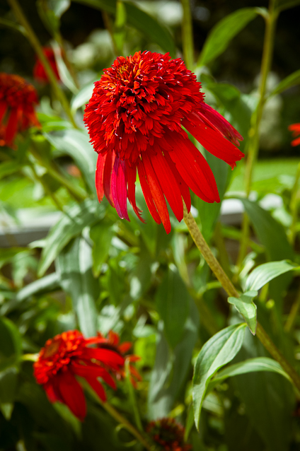 """Hot Papaya"" Coneflower, Private Garden, Hagerstown, Maryland, J"
