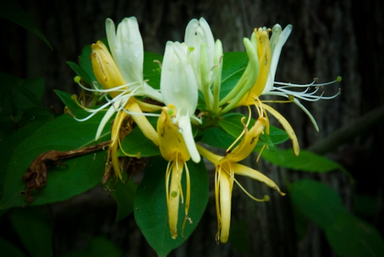 Honeysuckle, Hunter Hill, Hagerstown, Maryland, June 4, 2015