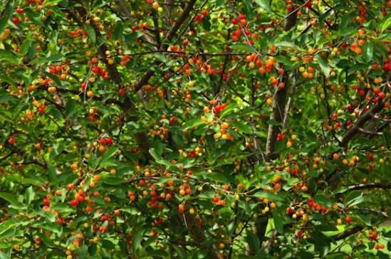 Ripening Cherries, Washington County, Maryland, June 11, 2015.