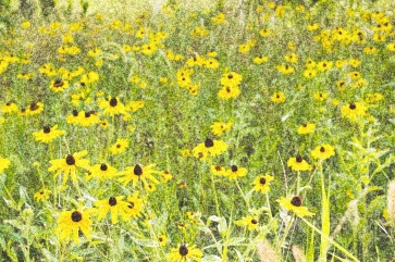 Black Eyed Susan, Hagerstown, Maryland, October 2009